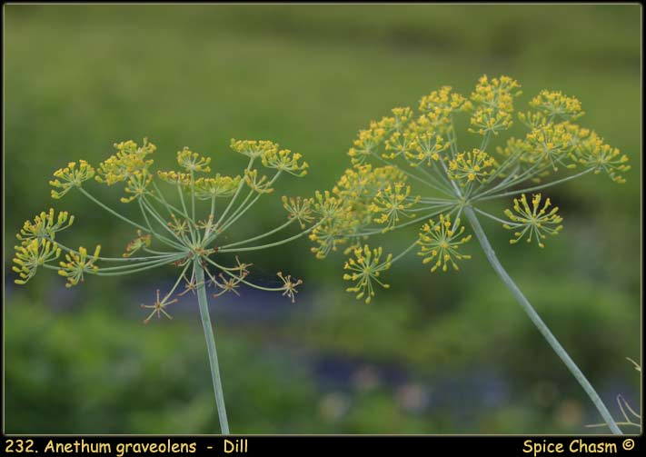 Dill ~ Anethum graveolens