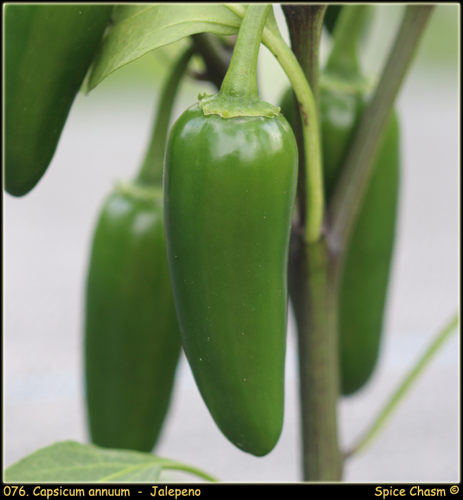 Fresh Green Jalapeno - 新鮮辣椒 (綠色)