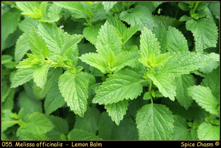 Lemon Balm ~ Melissa officinalis
