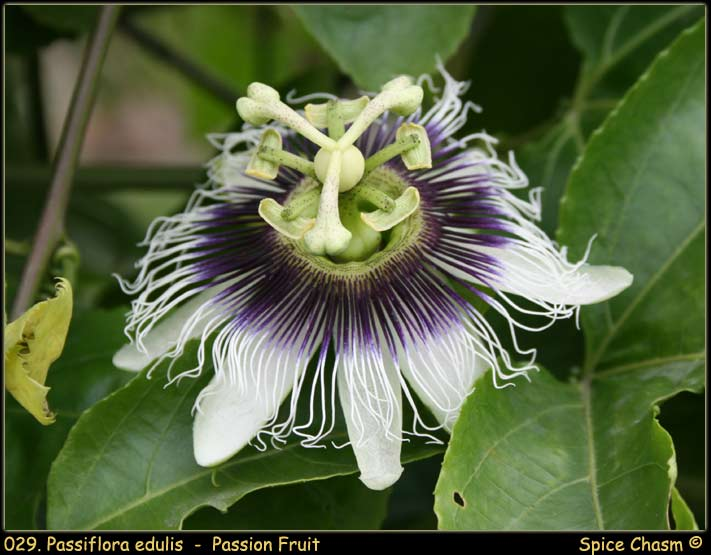 百香果 - Passiflora sp. - Passion Fruit